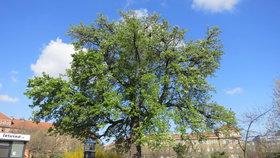 V Praze 10 mohou lidé adoptovat stromy. Radnice doufá v lepší ochranu zeleně