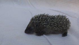 Desítky osiřelých ježčích mláďat končí v záchranných stanicích v Praze: Kvůli vedrům přišla o matku