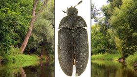 Unikátní objev! U soutoku Moravy a Dyje našli vědci nového brouka: Kožojed žije ve staletých dubech
