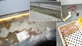 Myši kálely mezi jídlo: Inspekce zavřela Tesco, bylo plné trusu