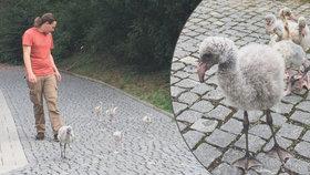 Po pražské zoo se prochází školka plameňáků: Tohle jsou Donald, Pascal, Bobík, Dory a Blue