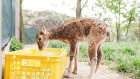V Malé Chuchli se bude nadělovat zvířátkům: Dárky dostane rys, jeleni i mývalové