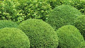 Jak ochránit buxusy před škůdci? Poradí vám odbornice na rostlinolékařství