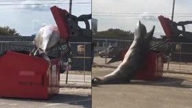 Jako Pat a Mat: Biologové se snažili nacpat mrtvou velrybu do popelnice, selhali