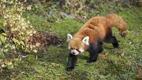 Vzácný přírůstek Zoo Praha se už předvádí lidem: Mládě pandy červené si vede dobře