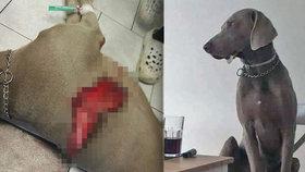 Pořezaný ohař Charlie je po operaci: 30cm ránu mu pachatel způsobil skalpelem, policie hledá svědky