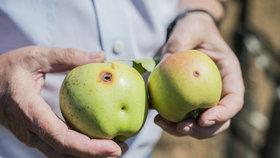 Jak ochránit jabloně před škůdci: Jsou nejohroženější ze všech ovocných stromů!