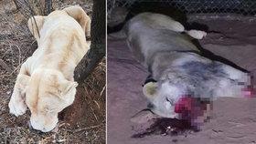 Tragická smrt lvího krále Mufasy: Pytláci mu uřezali nohy a čumák!