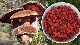 Češi si přinesli z lesů miliardy. Táhnou hlavně houby, borůvky a maliny
