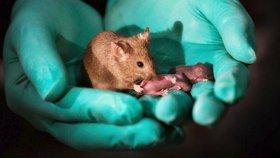 Mají dvě matky, a žádného otce. Čína vytvořila geneticky výjimečné myši