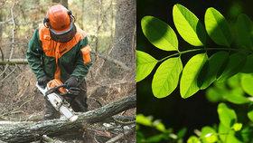 Boj s akátem v pražských lesích: Na jeho odstranění se používá i agresivní chemie