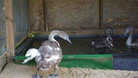 Labutí mládě ze Stromovky přišlo o křídlo. Můžou za to lidé, kteří ho krmili pečivem