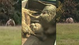 »Zabijácký« medvěd terorizuje Zlínsko: Kontakt s turistou u rozhledny