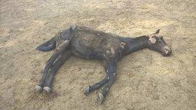 Týrání, nebo drsná nemoc? Policie vyšetřuje smrt koně z Plzeňska