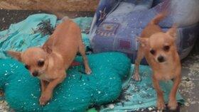 """80 čivav z množírny schovali na tajné místo. Hamižná """"chovatelka"""" po nich pátrá"""