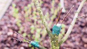 Roubování ovocných dřevin: Z jednoho stromu můžete sklízet i dva druhy ovoce
