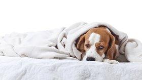I psům hrozí virózy a nachlazení. Z neléčeného kašle je snadno zápal plic
