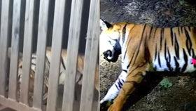 Lidožravou tygřici nalákali na luxusní parfém: Sežrala třináct vesničanů