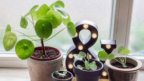 Jak pěstovat pileu: Nenáročná květina bude ozdobou vašeho interiéru