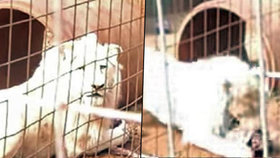 Vzácného bílého lva chtějí úřady prodat lovcům: Zachrání ho záhadný samaritán?