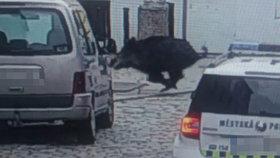 Hon na divočáka v centru Budějovic: Prase vlítlo do obchodu a zranilo ženu!
