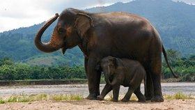Oko za oko: Muž najel autem do slona, ten ho zlostí ušlapal k smrti