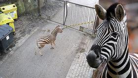 Splašená zebra v jihlavské zoo: Mladý samec se pořezal při skoku skrz okno vrátnice