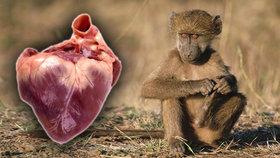 Transplantace zvířecích orgánů do lidí: Vědci udělali zásadní krok!