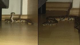 Ženu vyděsil půlmetrový had! Našla ho u sebe v obýváku, nejspíš utekl předchozím nájemníkům