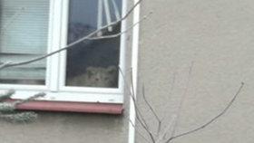Lev na Příbramsku vyděsil kolemjdoucí: Nebezpečná šelma žila v bytě s majitelem