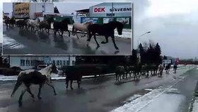 Divoký západ v Šumperku: Policisté centrem města naháněli stádo koní