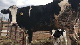 Březí kráva utekla z jatek a porodila tele. Úředníky dojala natolik, že bojují za změny