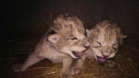 Smutek v liberecké zoo: Obě vzácná mláďata zemřela, lvice náhle ztratila mléko