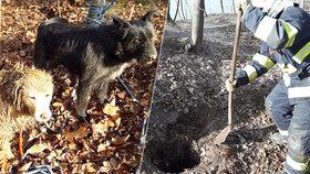 Úžasná psí solidarita: Hafan uvízl v noře, parťák mu štěkáním přivolal pomoc!