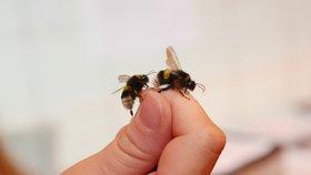 """Mají čmeláci žihadlo? V Řepích chystají besedu o tajemstvích """"včelích medvídků"""""""