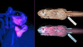 Příroda se zbláznila? Vědci objevili létající růžovou veverku, která svítí ve tmě