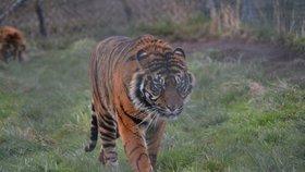 Zbídačení tygři živoří už týden v náklaďáku. Ošetřovatelé se k nim nemohou dostat
