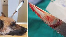 Psí hrdina zachránil páníčka. Útočník mu zarazil nůž do hlavy