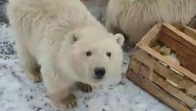 Invaze medvědů: Rusové vyhlásili stav nouze, lidé jsou vyděšení a bojí se o děti