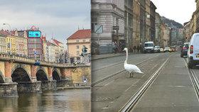 Vyděšená labuť na Palackého mostě: Prožila si trauma s tramvajemi, auty a kolemjdoucími