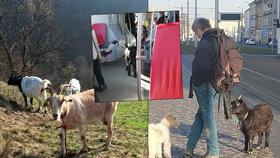 Kozy v tramvajích a autobusech: S majitelem jezdí na výlety po krásách Prahy
