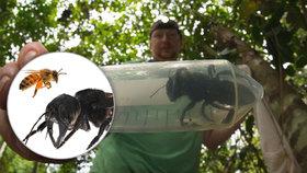 Největší včelu světa měli desítky let za vyhynulou. Teď se objevila v pralese