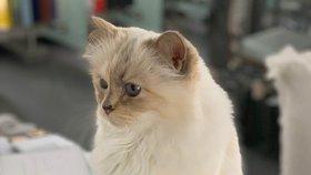 Nejbohatší kočka na světě? Tahle zdědila po Karlu Lagerfeldovi dvě služky i bodyguarda!
