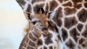 Flekatý přírůstek v pražské zoo prozkoumává svět: Zvídavý žirafí chlapeček se připojil ke stádu!