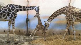 Pražský žirafí kluk se připojil ke stádu. Váží skoro metrák, s chovatelem si koukají do očí