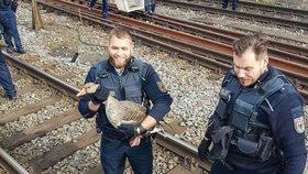 Husa zastavila provoz na nádraží: Chytaly ji dvě policejní hlídky