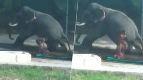 Chovatel (†40) praštil slona tyčí: Pak uklouzl a zvíře ho zasedlo