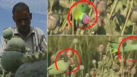 """Gangy závislých papoušků kradou farmářům makovice, """"sjíždí se"""" z nich opiem"""