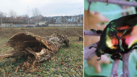Krádež jako Brno: Zloděj ukradl kládu! Bylo to broukoviště, se vzácným hmyzem asi zatopil