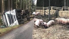 V lese na Benešovsku se převrátil tahač s prasaty: Zvířata se rozutekla po lese